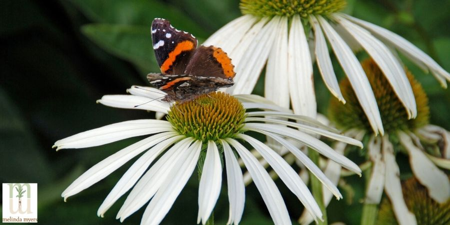 red admiral butterfly on a coneflower