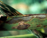 Dark colored spots on grass leaf blades are Leaf Spot, it can be teated with proper mowing.