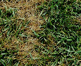 Yellow Patches on grass caused by Pythium.