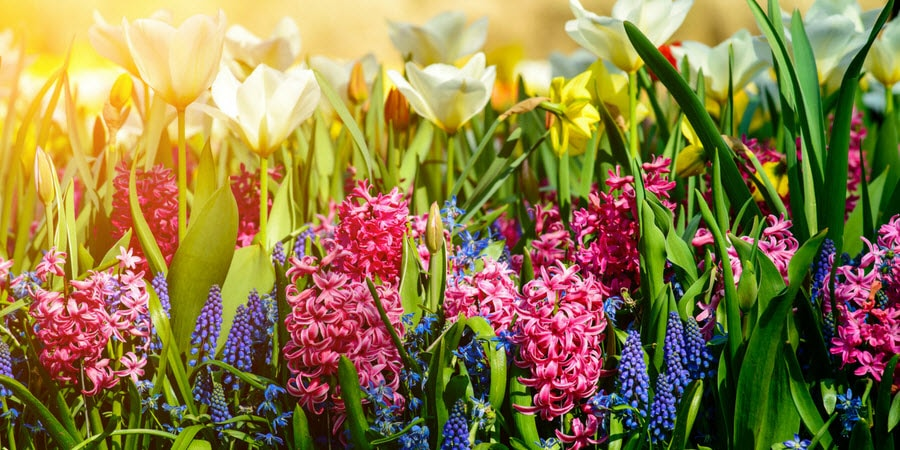 hyacinths and tulips blooming