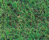 This buffalo grass is gray-green with fine, hairy characteristics.