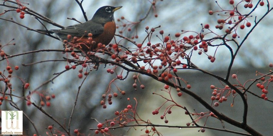 Robins are groundfeeders for food