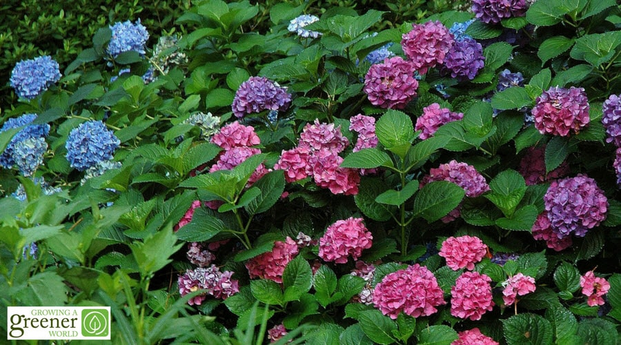 Classic old-fashioned mophead blue and pink hydrangeas