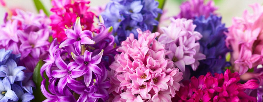 Plant bulbs in fall for spring blooms hyacinths mightylinksfo Image collections