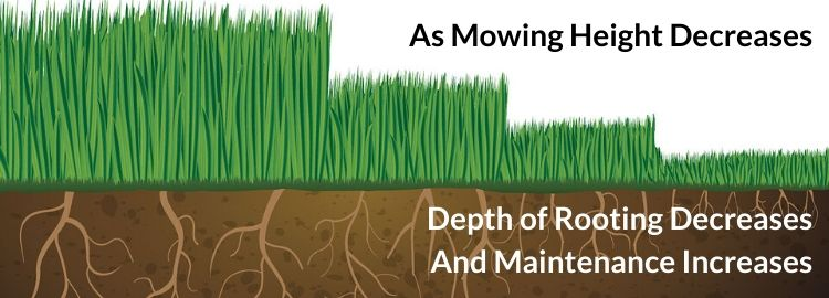 As mowing height decreases, depth of root decreases and maintenance increases