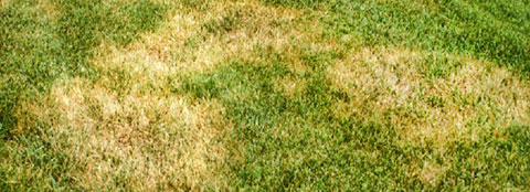 Common lawn diseases can be avoided with proper care and Milorganite.