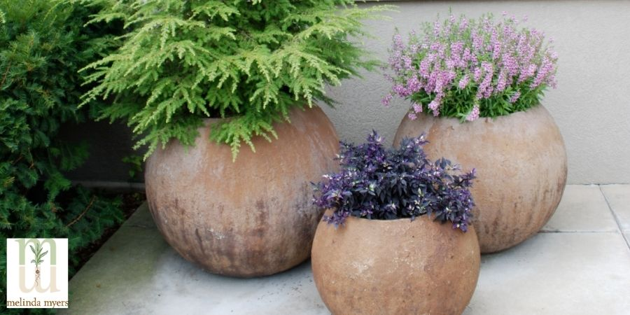 Hemlock Lavender Purple Flash in Containers