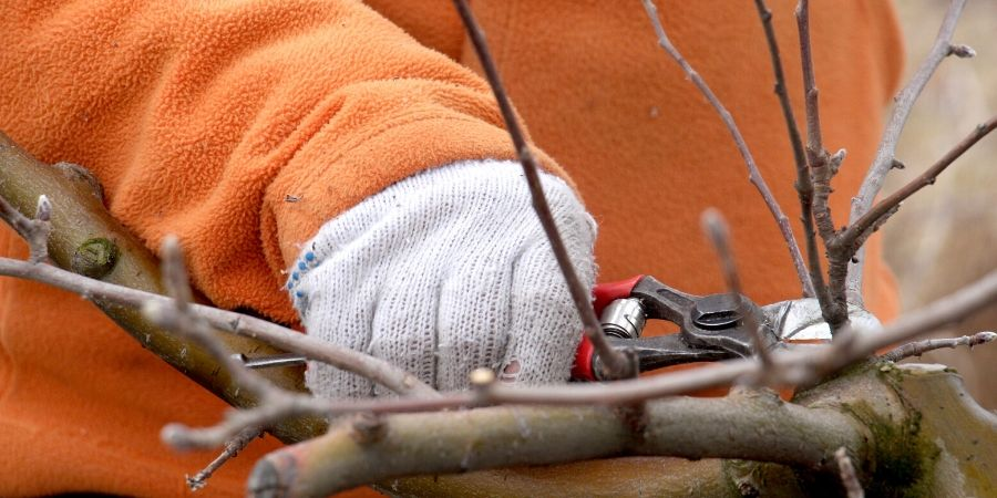 person pruning shrubs in winter