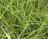 This Bahiagrass is dark green and grows in a warm climate.