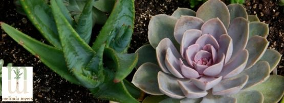 MM_Succulents_Thumbnail555x201-min.jpg