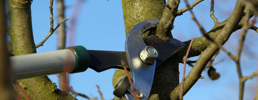 Pruning a tree in winter