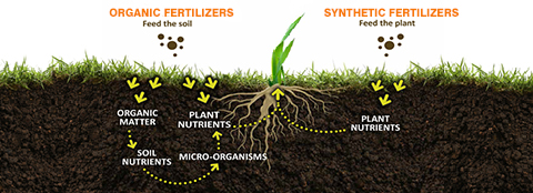 This graphic shows the differences between organic and synthetic fertilizers and the benefits of using organic fertilizer.