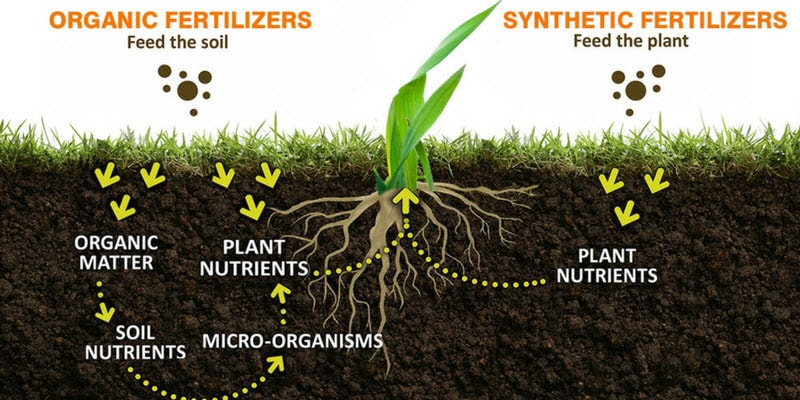 How organic and synthetic fertilizer works to feed a plant.