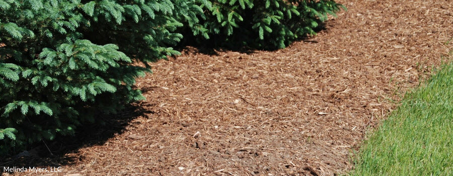 Mulch around Evergreen Trees