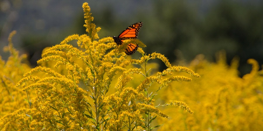 GoldenRod plant with a Monarch Butterfly