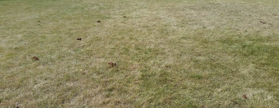 Dormant Brown Lawn in Summer