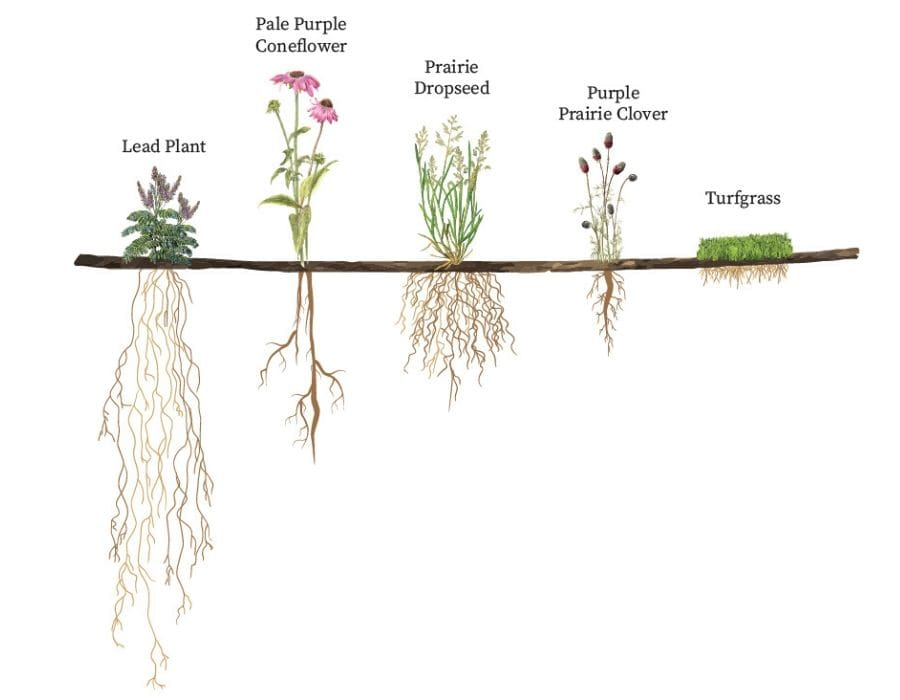 Length of native plant roots