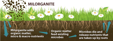 This graphic shows how Milorganite fertilizer helps grass stay healthy.
