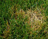 Fertilize regularly with Milorganite to avoid straw-colored patches from Dollar Spot.