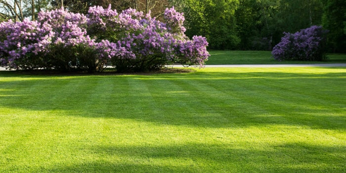 Green Lawn In Spring With Lilac Bushes