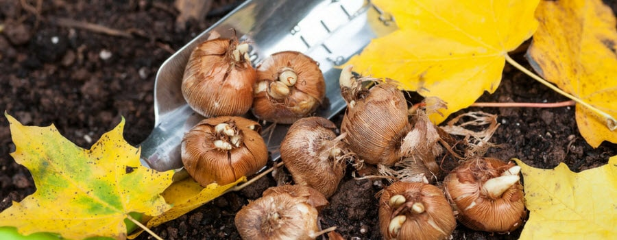 Planting Crocus Bulbs in Fall