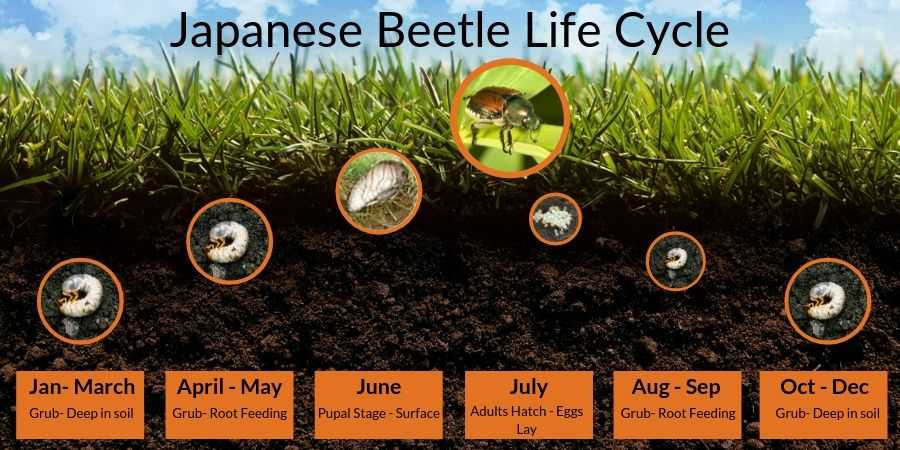 Japanese Beetle Lawn Grub Life Cycle