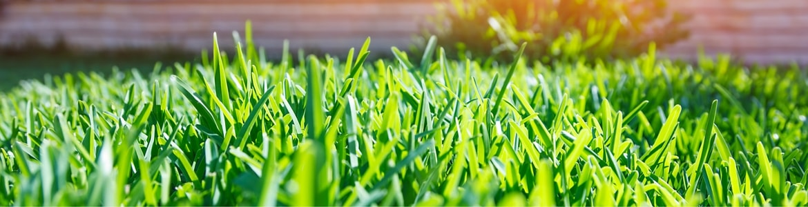 Green healthy grass in the sun.