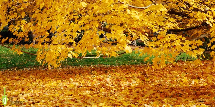 Yellow leaves on a tree and lawn in fall