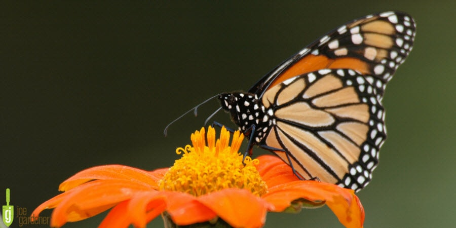 Monarch Butterfly pollinating a flower