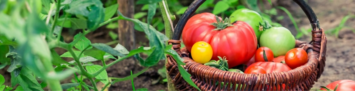 tomatoes in a basket in a garden