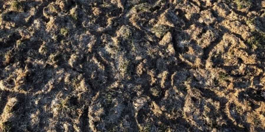 Mole Damage in a New Lawn Started From Scratch