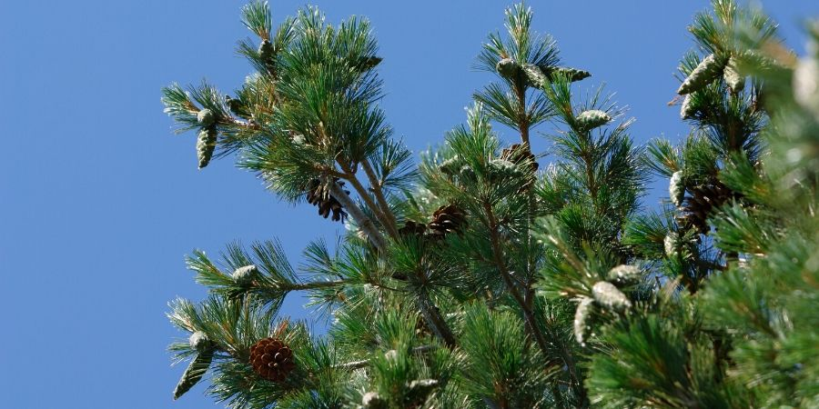 evergreen tree with cones