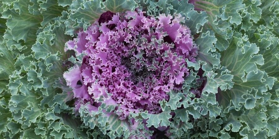Ornamental kale planted in fall