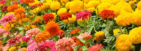 Many brightly colored flowers in a flower garden.
