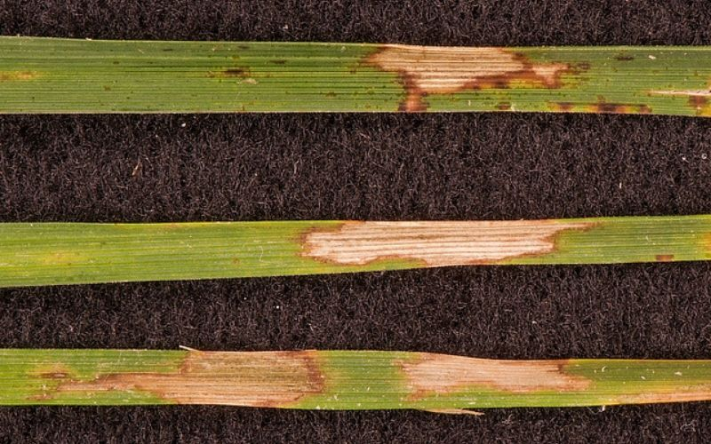 browned grass blades with disease