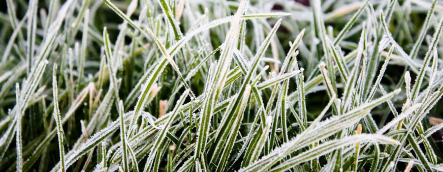 Grass Blades Frost