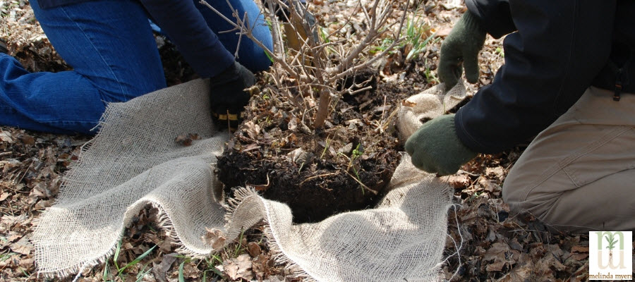 Transplanting a Shrub with Burlap