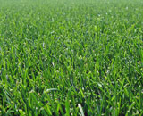 Healthy, green  Kentucky Bluegrass, most widely used grass in Midwest.