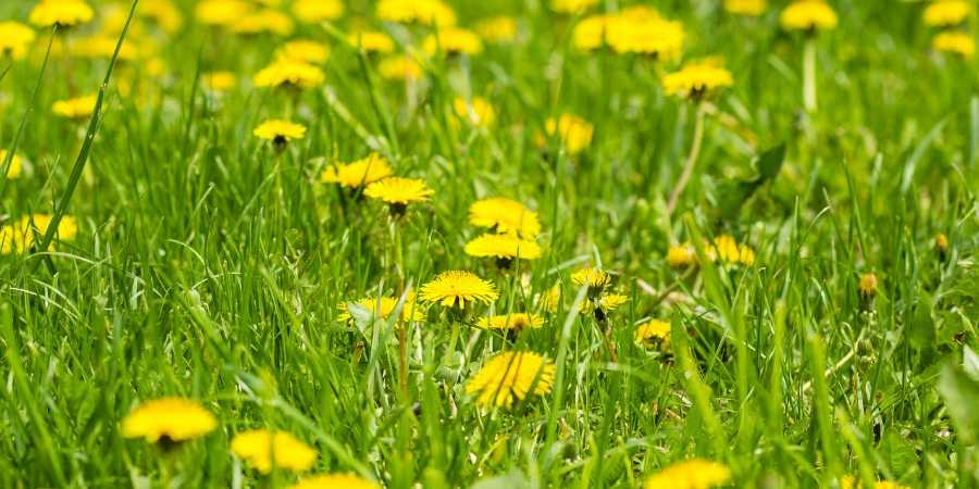 dandelions in grass