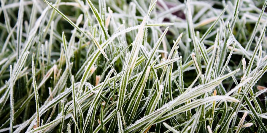 frozen grass blades
