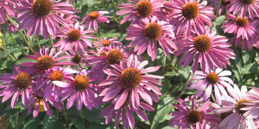 Melinda Myers Preparing for drought coneflower native plant