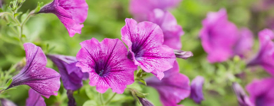 Purple petunia flowers in the garden